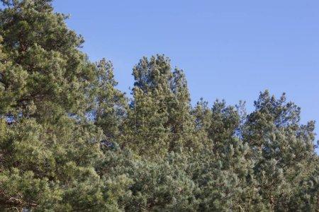 Photo pour Pine Tee Branches sur fond de ciel bleu Broche couronnée - image libre de droit