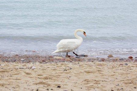 Photo pour Belle cygne blanc marchant sur la plage Baltique Parc national de Curonian Spit UNESCO Printemps - image libre de droit