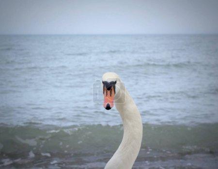 Photo pour Belle cygne blanc Gros plan Portrait Baltique plage Curonian Spit . - image libre de droit
