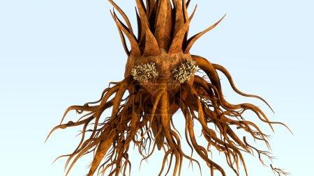 Corollid plant roots