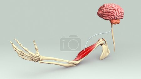 Photo for Hand muscle connection with brain. 3d illustration - Royalty Free Image