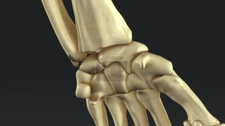 Synovial Joints close up