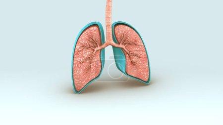 Photo pour Système respiratoire humain. anatomie médicale 3d - image libre de droit