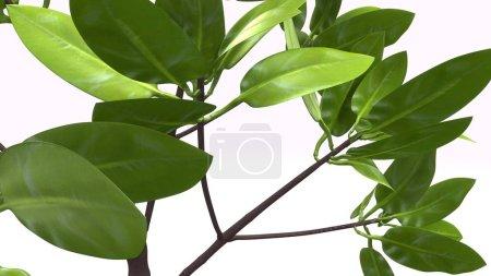 mangrove plants on white