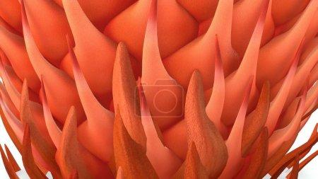 Cycas male cone