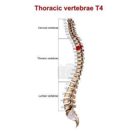 3d Thoracic vertebrae