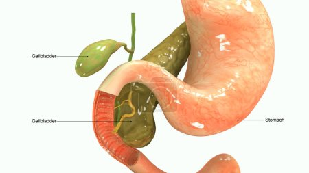 Pancreas 3d illustration