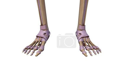 Skeleton foot with ligaments