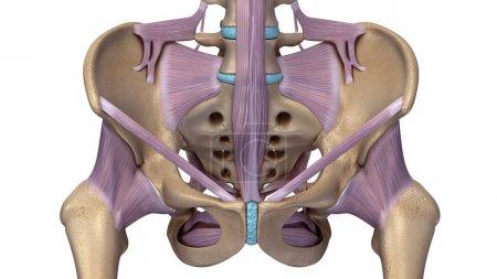 Skeleton hip illustration. In human anatomy, pelvi...