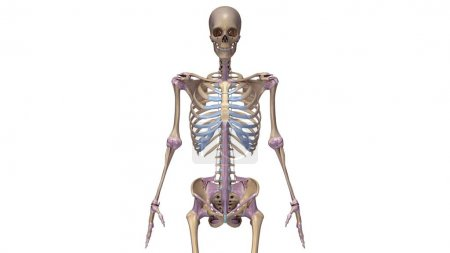 Photo for Skeleton with ligaments 3d  illustration - Royalty Free Image