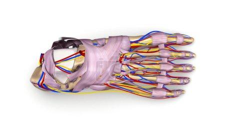 Foot bones 3d illustration