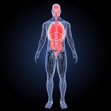 Photo pour Organes humains vue antérieure Illustration 3D - image libre de droit