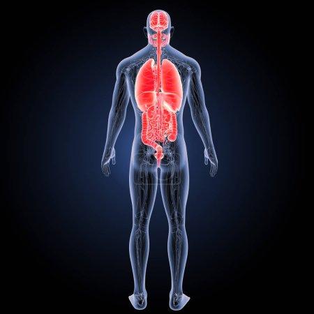 Photo pour Organes humains vue postérieure Illustration 3D - image libre de droit