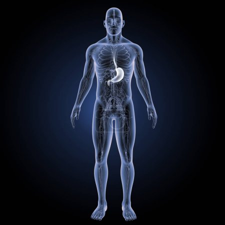 Human stomach view