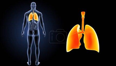 Human Heart Lungs