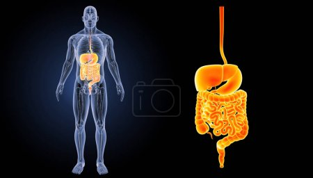 Digestive system zoom