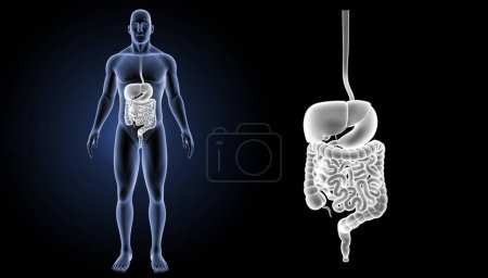 Digestive system zoom