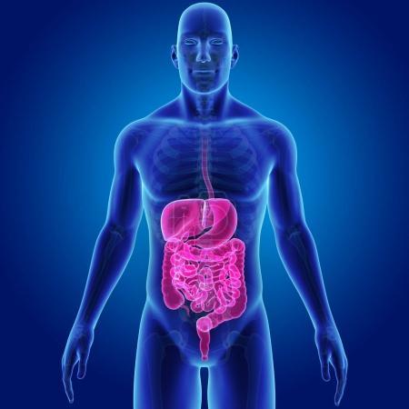 Photo pour Système digestif avec le fond squelette vue antérieure, bleu - image libre de droit