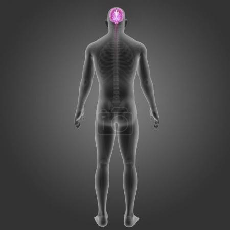 Brain with skeleton posterior view