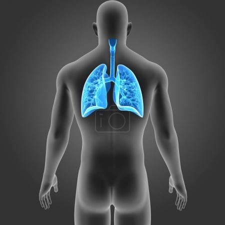 Lungs with body posterior view