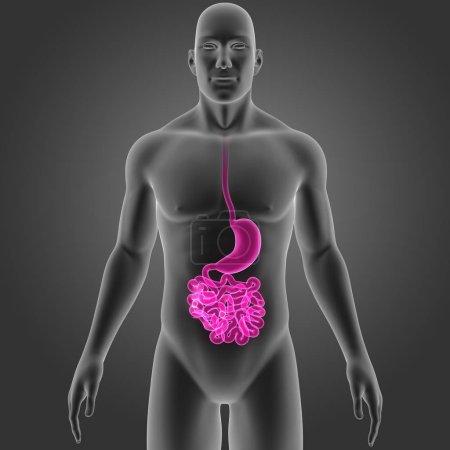 Photo pour Vue antérieure estomac et l'intestin grêle - image libre de droit