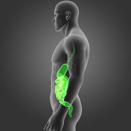 Photo pour Estomac et l'intestin avec corps vue latérale - image libre de droit