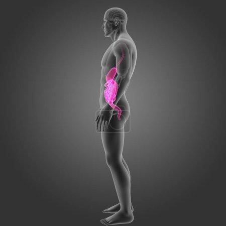 Photo pour Estomac et l'intestin avec les organes de vue latérale - image libre de droit
