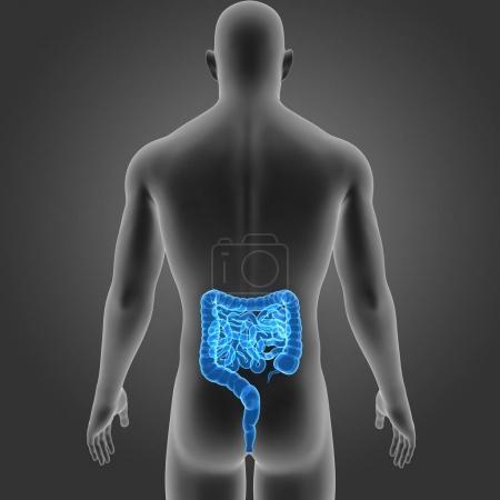 Photo pour Intestin humain avec vue postérieure du corps - image libre de droit