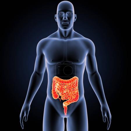 Photo pour Intestin humain avec vue antérieure du corps - image libre de droit