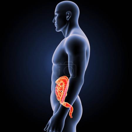 Photo pour Intestin humain avec vue latérale du corps - image libre de droit