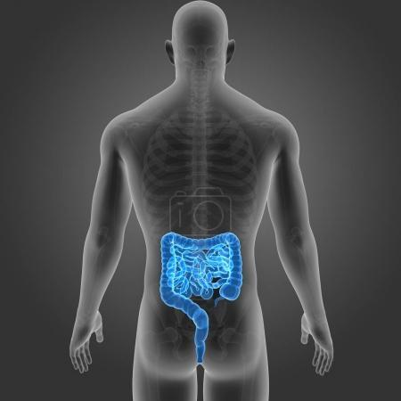 Photo pour Intestin humain avec squelette vue postérieure - image libre de droit