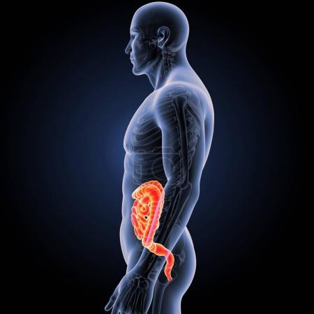 Photo pour Intestin humain avec squelette vue latérale - image libre de droit