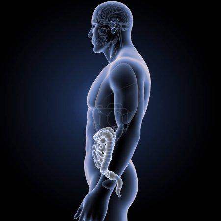 Photo pour Intestin humain avec vue latérale d'organes - image libre de droit