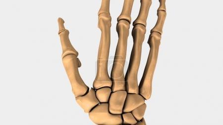 Human wrist bones