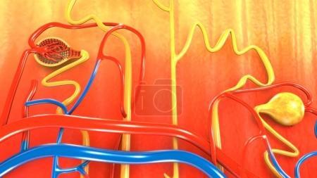 Nephron, part of human kidney