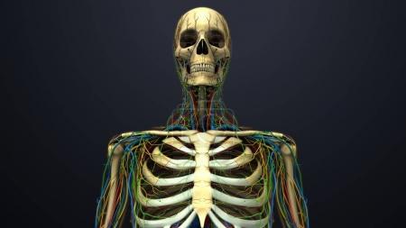 Human Anatomy With Skeleton