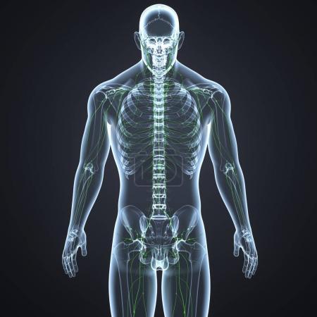 Human Lymph nodes