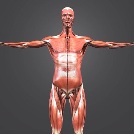 Colorful medical illustration of Human Muscular Anatomy
