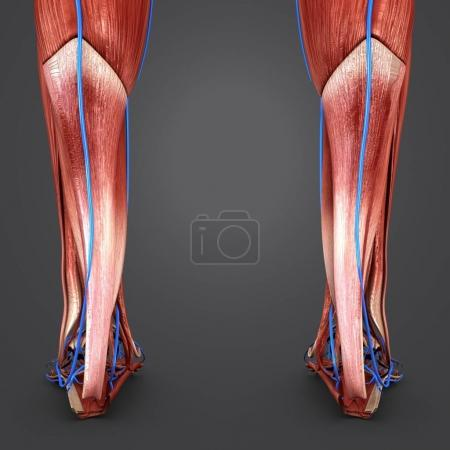 Colorful medical illustration of human Legs with Veins