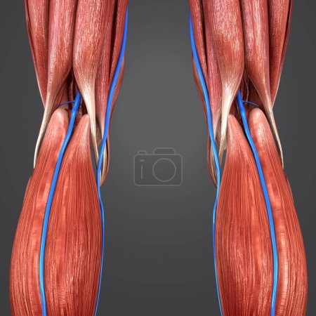Colorful medical illustration of human Lower limbs with Veins Posterior view