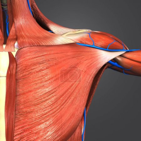Colorful Medical Illustration of Human Shoulder Muscles and Skeleton with Veins
