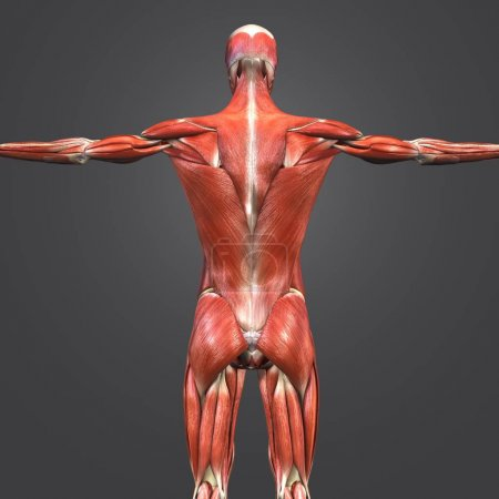 Colorful Medical Illustration of Human Muscular and Skeletal Anatomy with Lymphnodes