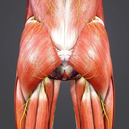 Colorful Medical Illustration of Human Hips Muscles and Bones with Circulatory system and Nerves