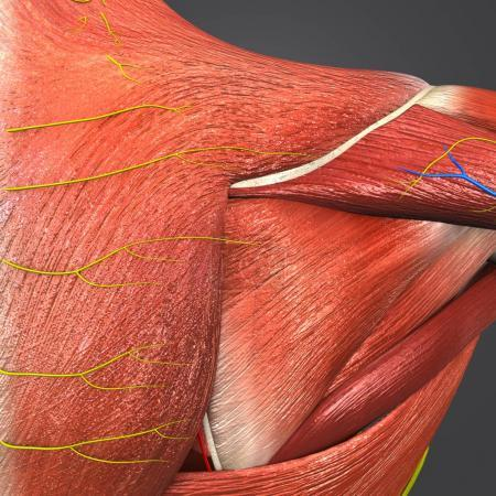 Colorful Medical Illustration of Human Shoulder Muscles and Bones with Circulatory System, Nerves and Lymphnodes