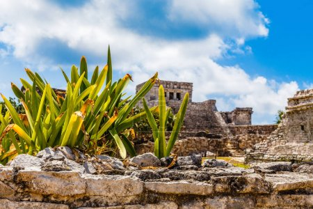 Agava plant on the old ruined wall with ancient Mayan temple in