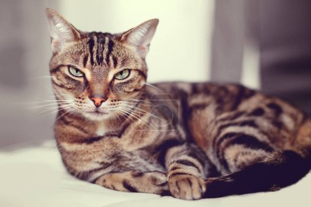 Photo for Closeup portrait of cute adorable tabby cat. Domestic pet at home - Royalty Free Image