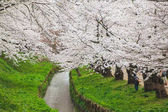 The river full of falling cherry blossom petal in beautiful sakura trees around at Hirosaki Castle, Japan