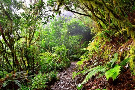 Laurisilva forest in the Anaga mountain range in Tenerife