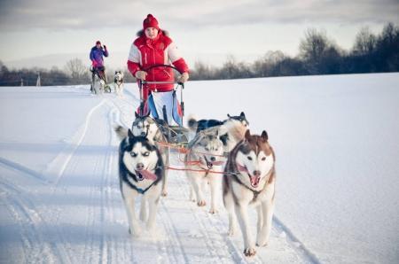 Photo pour Musher femme se cachant derrière le traîneau à chien de traîneau de course sur neige en hiver - image libre de droit