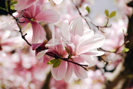 Foto de Flores de árbol de magnolia rosa brillante con hojas sobre una rama sobre fondo de naturaleza borrosa, Fondo de pantalla de primavera - Imagen libre de derechos